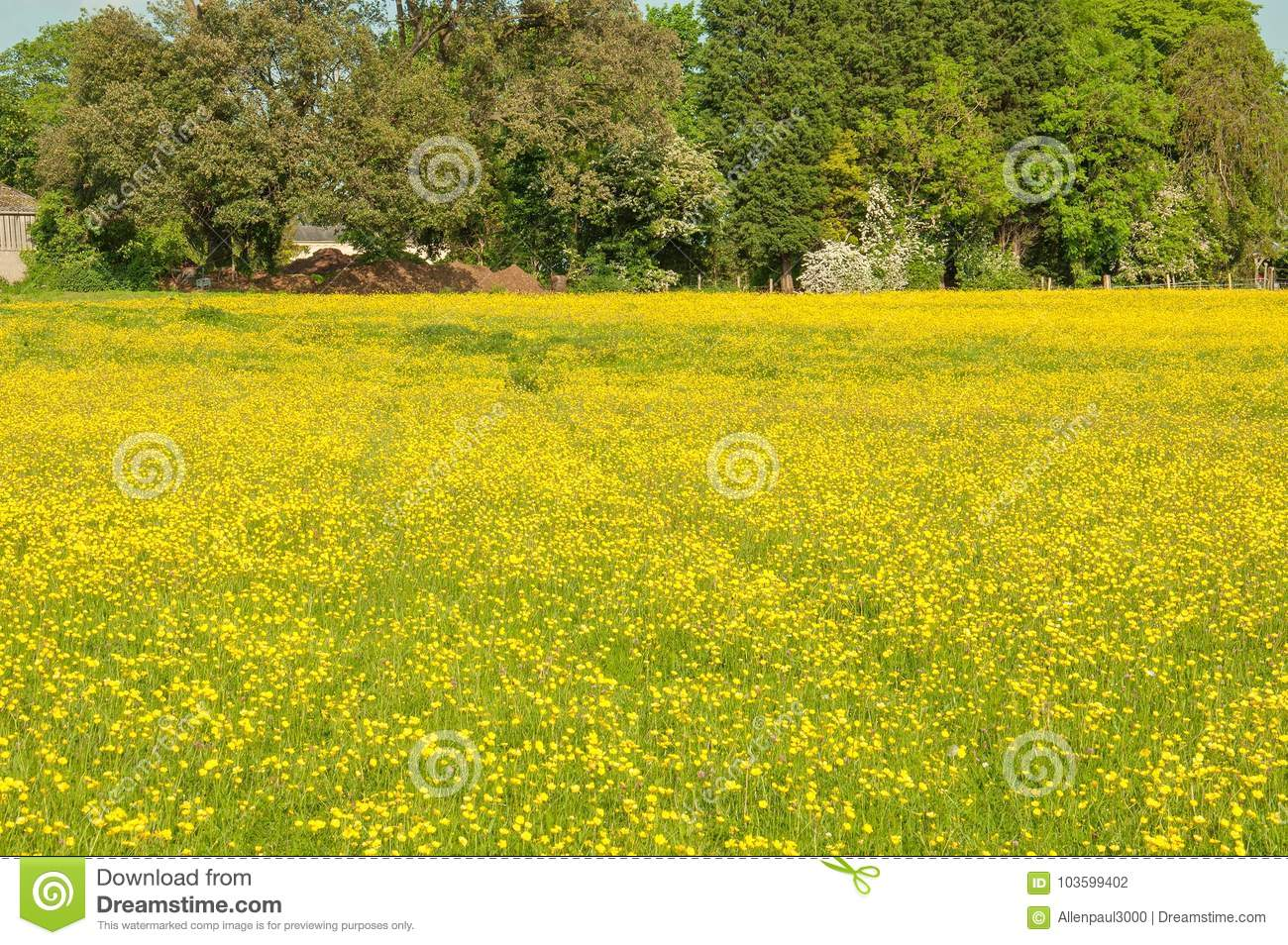 Yellow Buttercup Flowers In A Meadow In The English Summertime