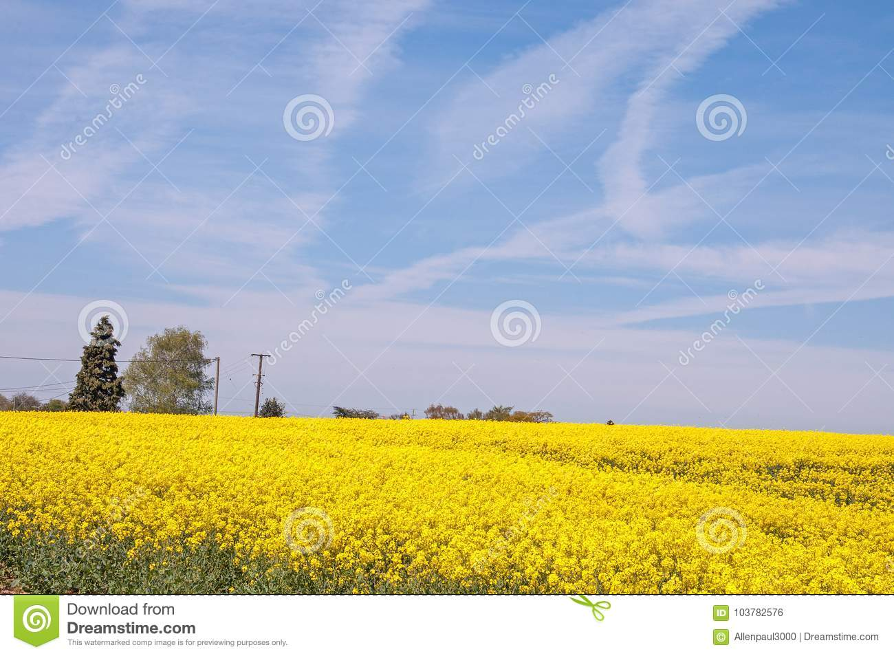 Beautiful Yellow Canola Fields In The English Summertime Stock
