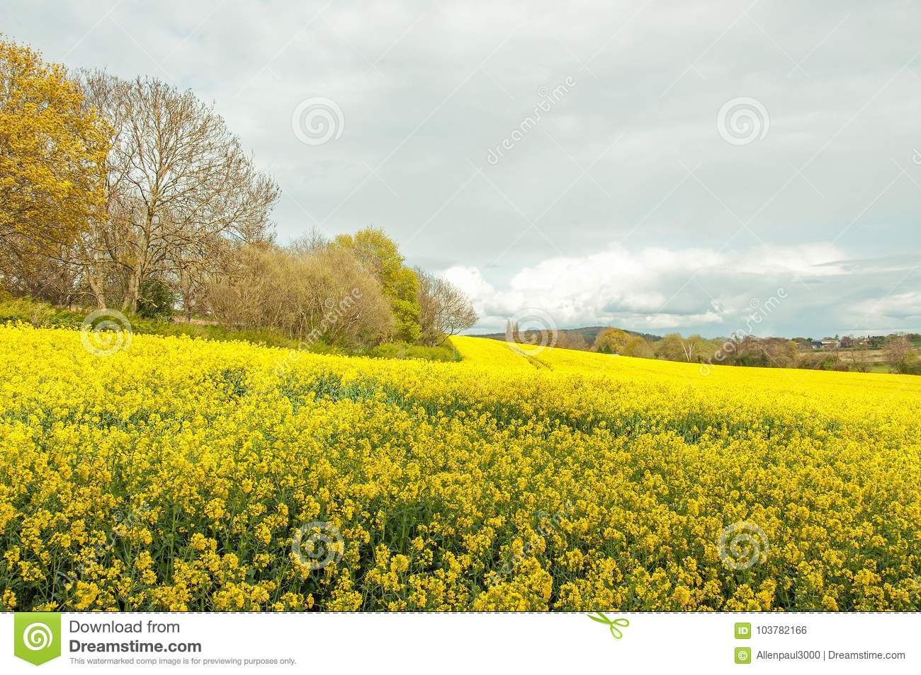 Beautiful Yellow Canola Flowers In The English Summertime Stock