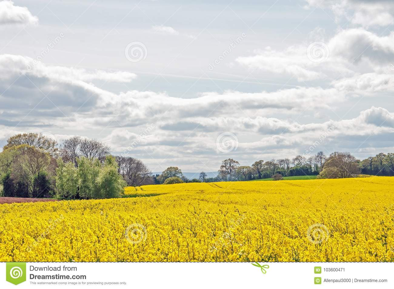Yellow Canola Flowers In The English Summertime Stock Image Image