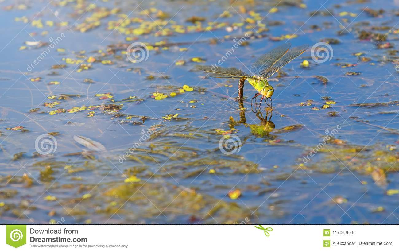 Colorful dragonfly on a plant reflecting in the water. Dragonfly
