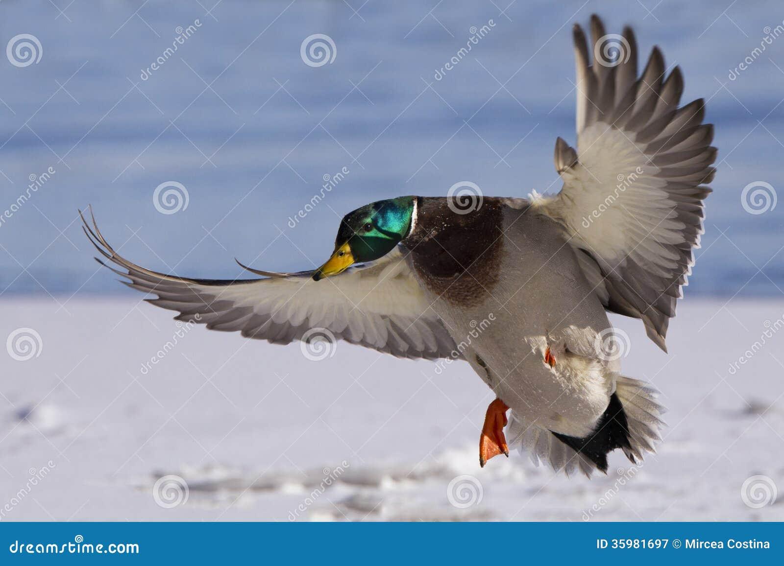 Colorful Drake Landing Stock Image Image Of Ready