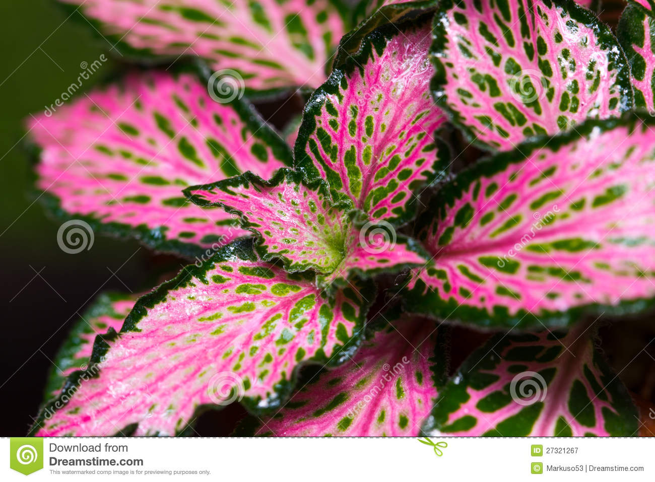 Colorful Episcia Plant Stock Image Image Of Flora