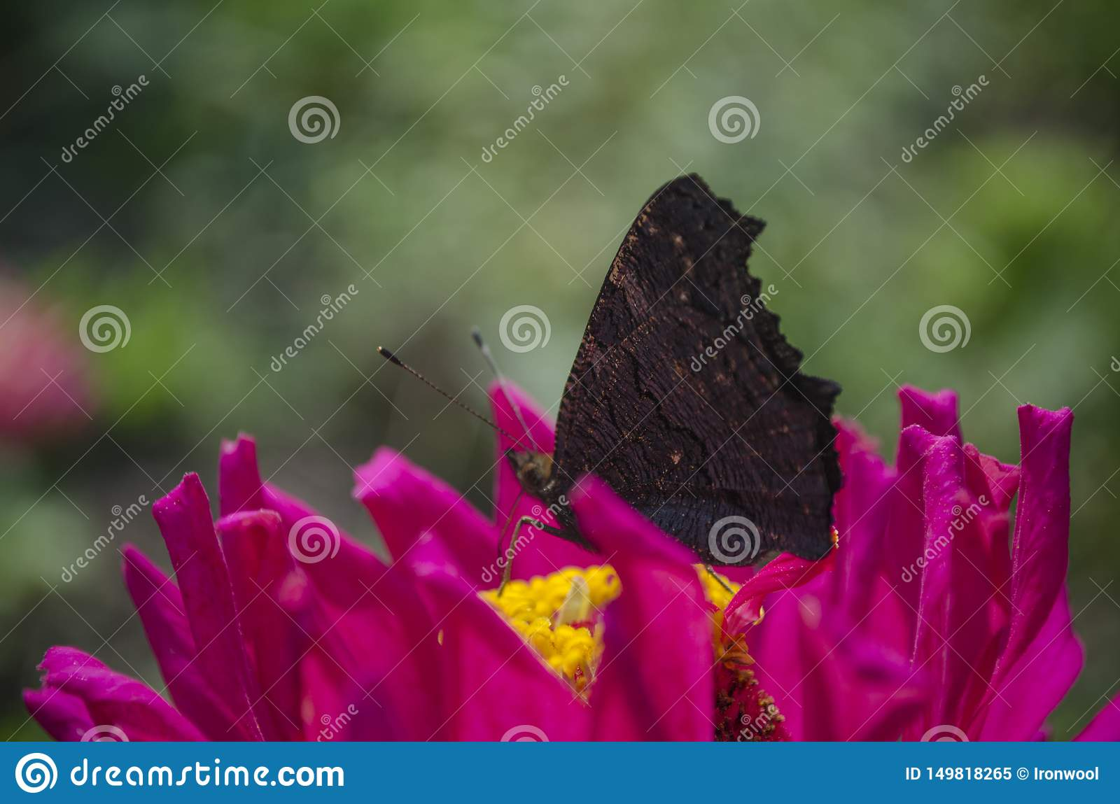 Colorful european peacock butterfly Inachis io, Aglais io sits on an magenta Zinnia flower with closed wings, blurred
