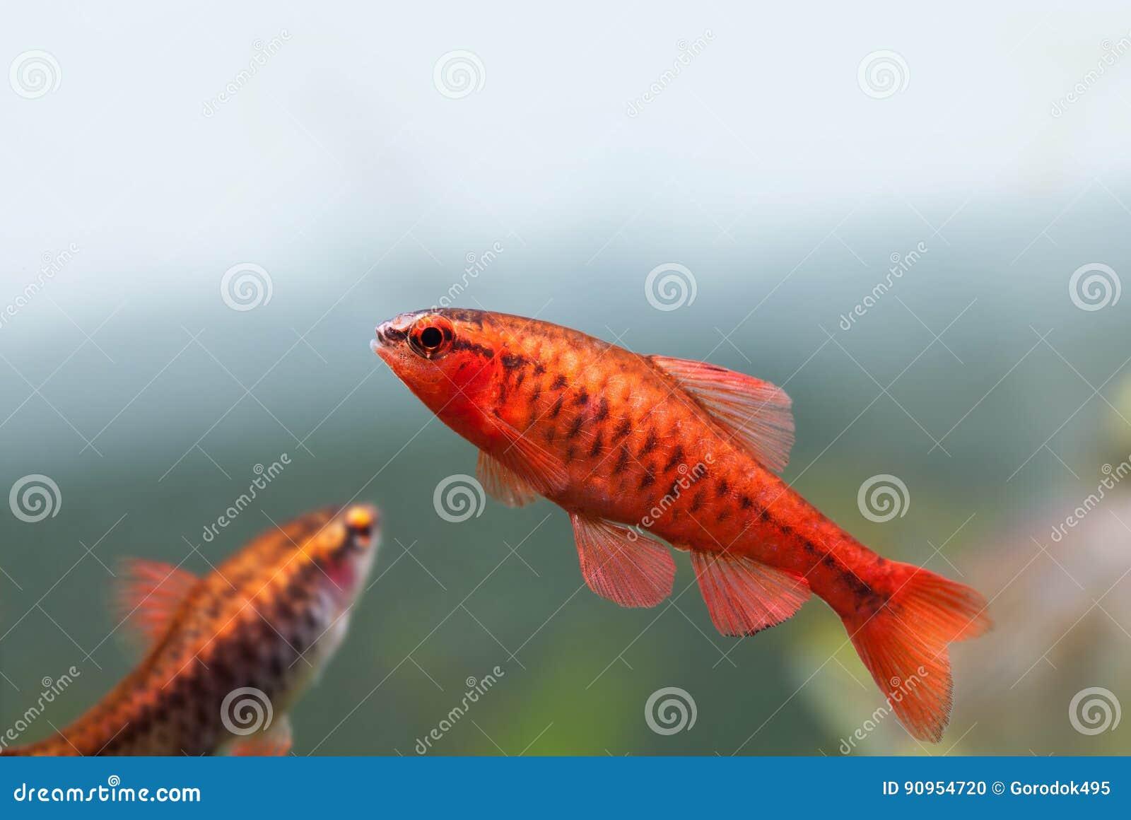 Colorful Exotic Fish Close-up. Freshwater Aquarium Tank With Barbus ...