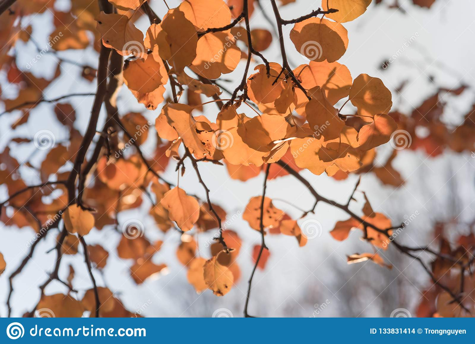 Colorful fall foliage golden Bradford pear leaves with backlit b