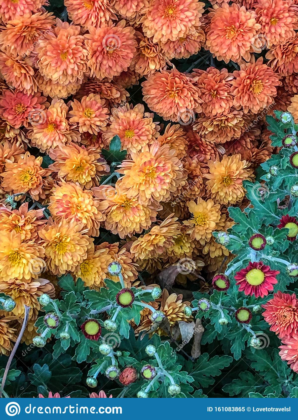 Colorful Fall Mum Flowers In Garden Stock Image Image Of Full Nature 161083865