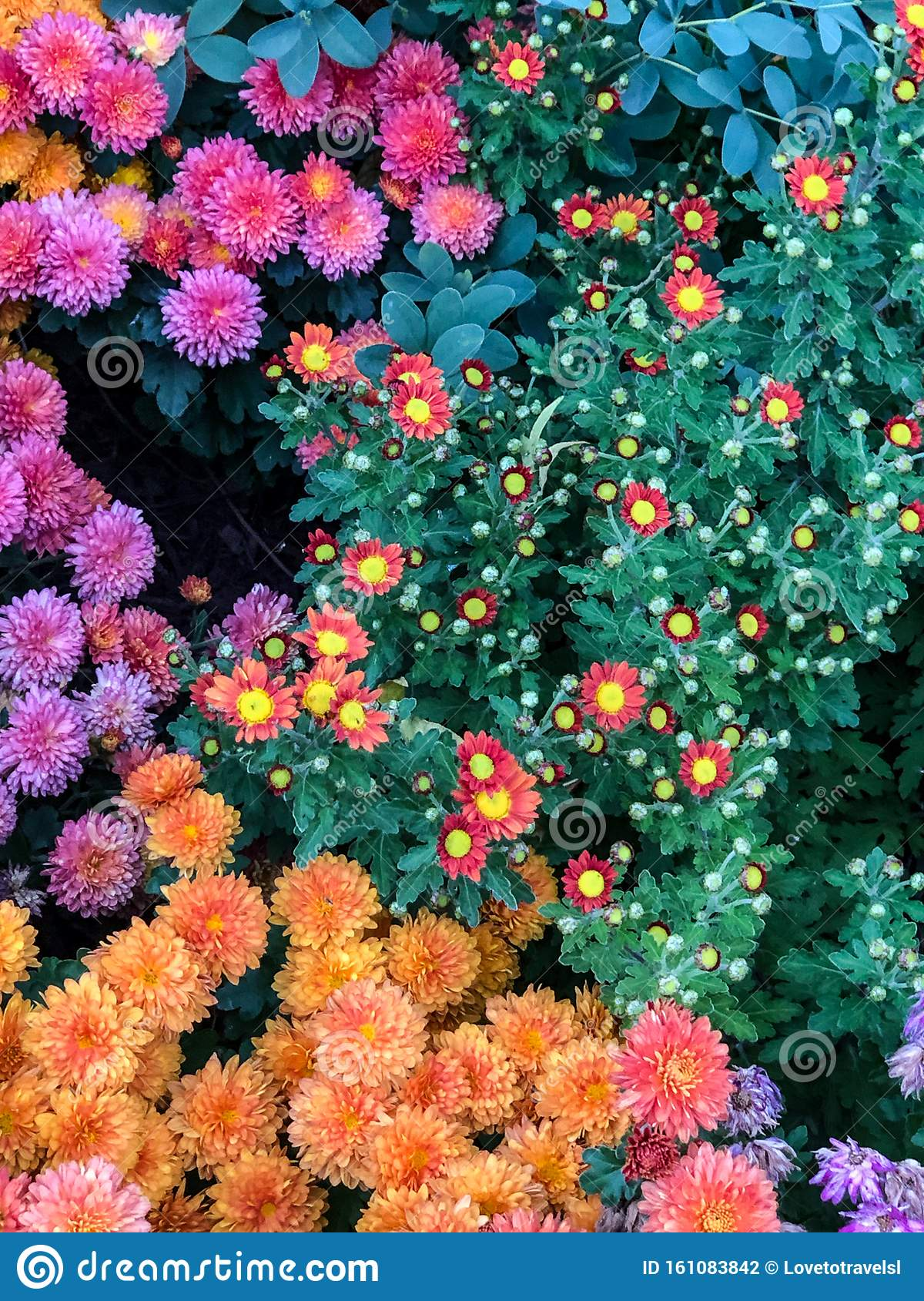 Colorful Fall Mum Flowers In Garden Stock Photo Image Of Flower Plants 161083842