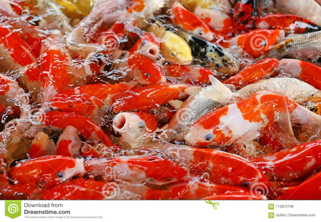 Colorful Fancy Carp Fish, Koi Fish Stock Photo - Image of colored ...