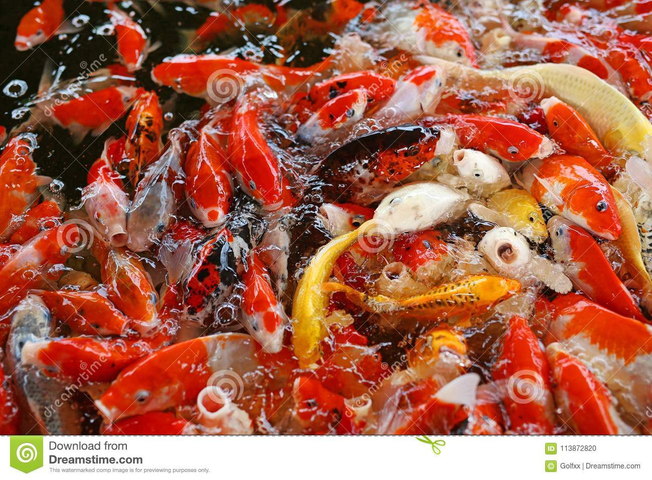 Colorful Fancy Carp Fish, Koi Fish Stock Photo - Image of carps ...