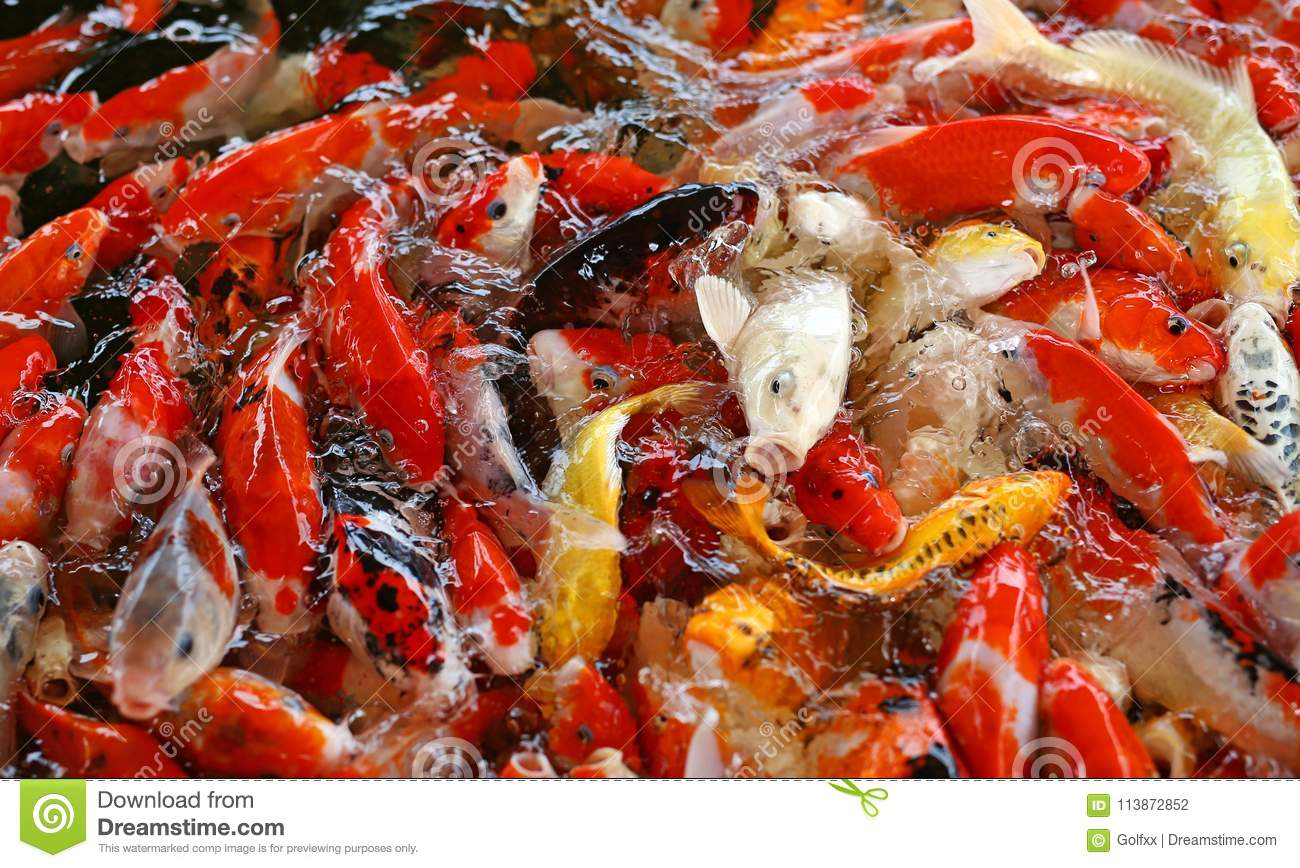 Colorful Fancy Carp Fish, Koi Fish Stock Photo - Image of chinese ...