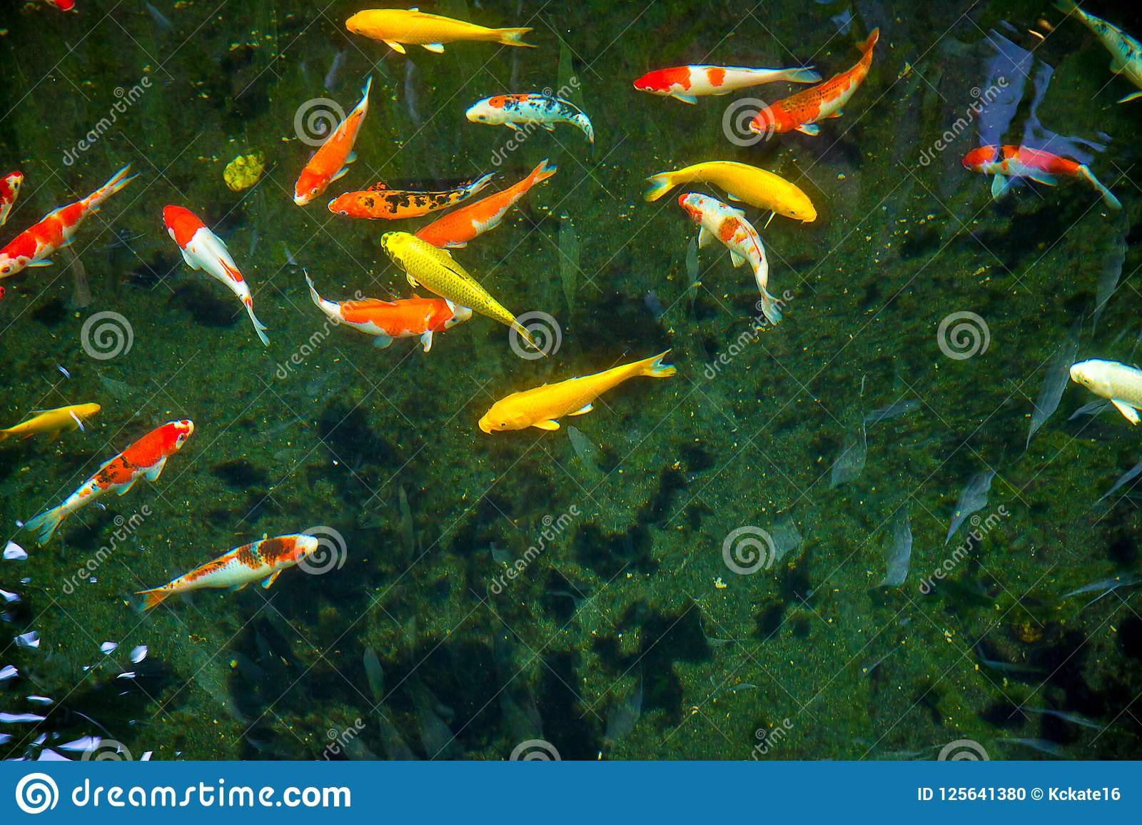 Colorful Fancy Koi Fish With Black Background Can Be Use