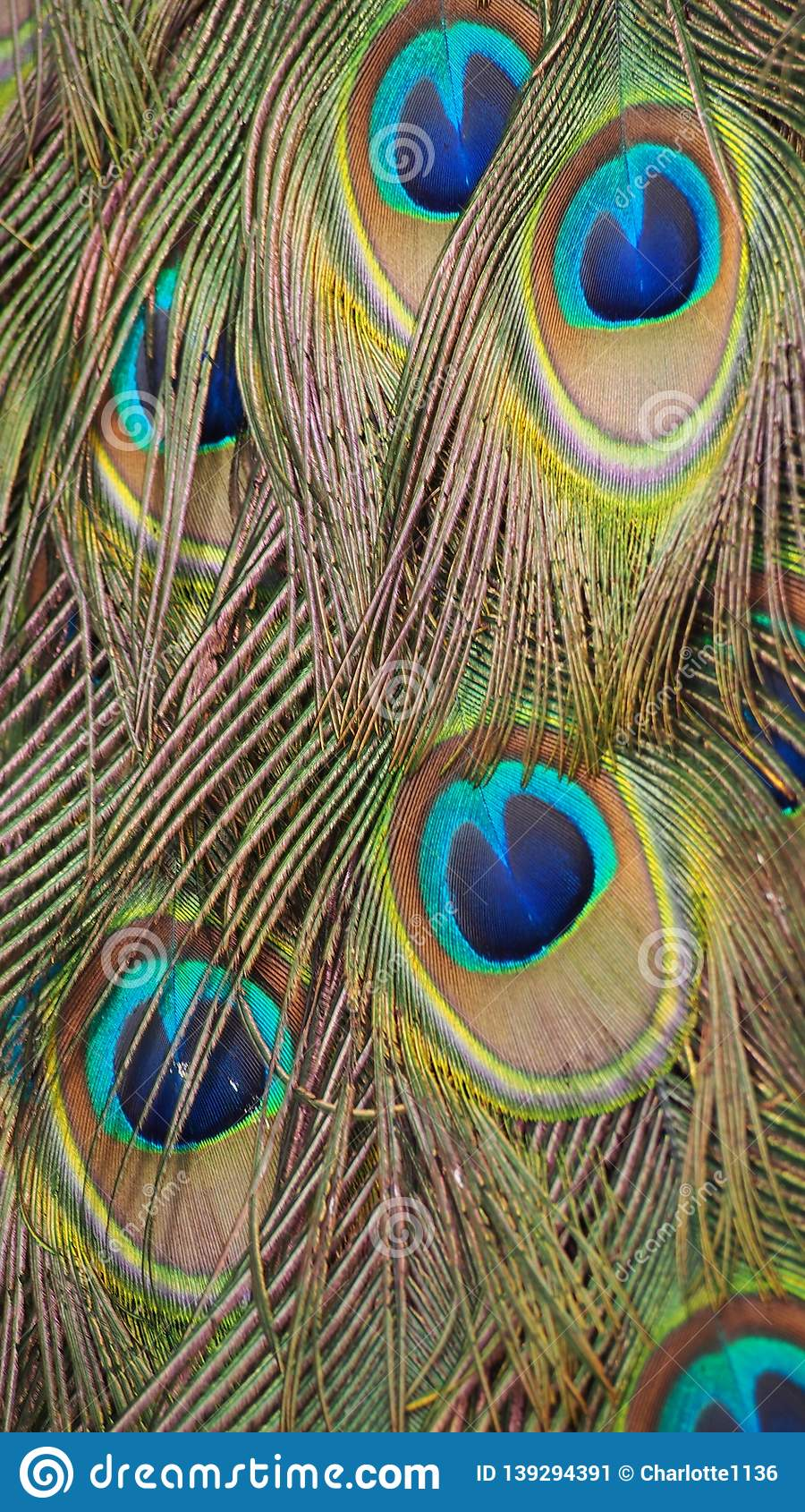 Colorful feathers of a peacock