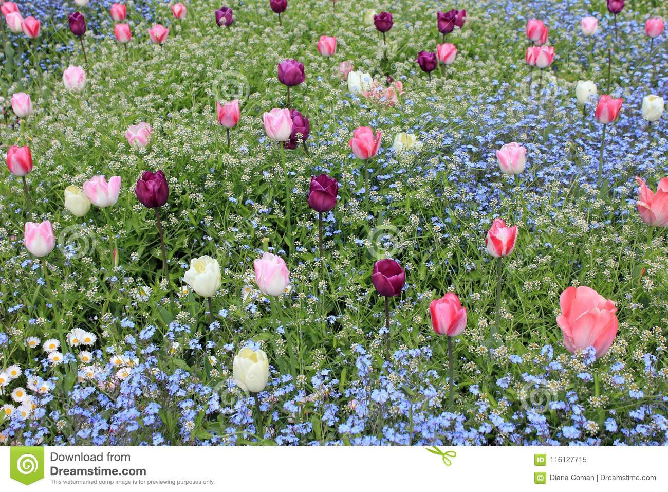 Colorful Field Tulips And Blue Forget Me Not Flowers Stock Image