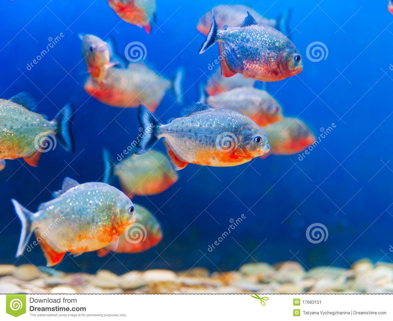 Colorful fish aquarium stock image image 17683151 for Colorful freshwater fish