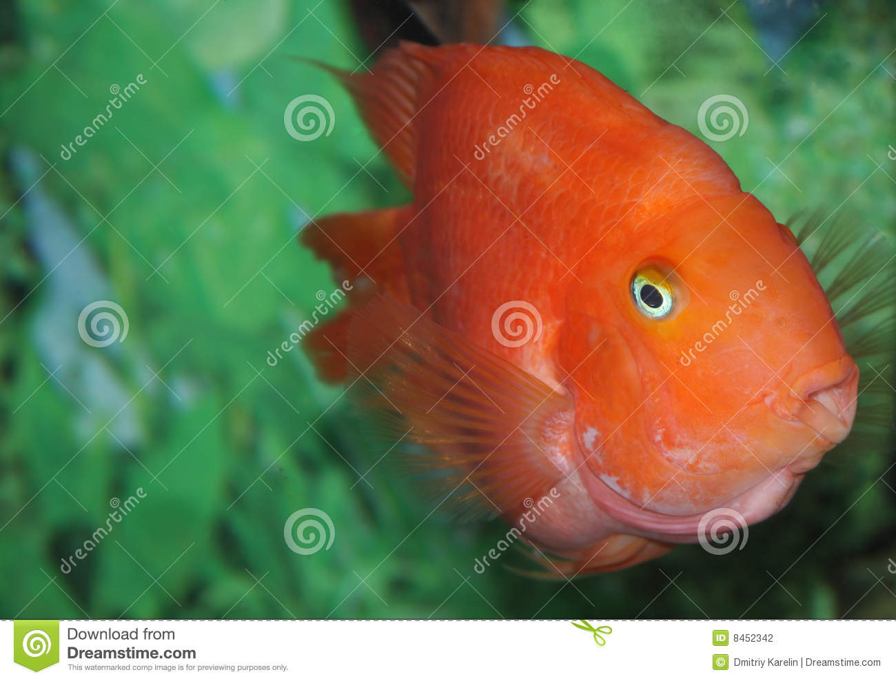 Colorful Pet Fish