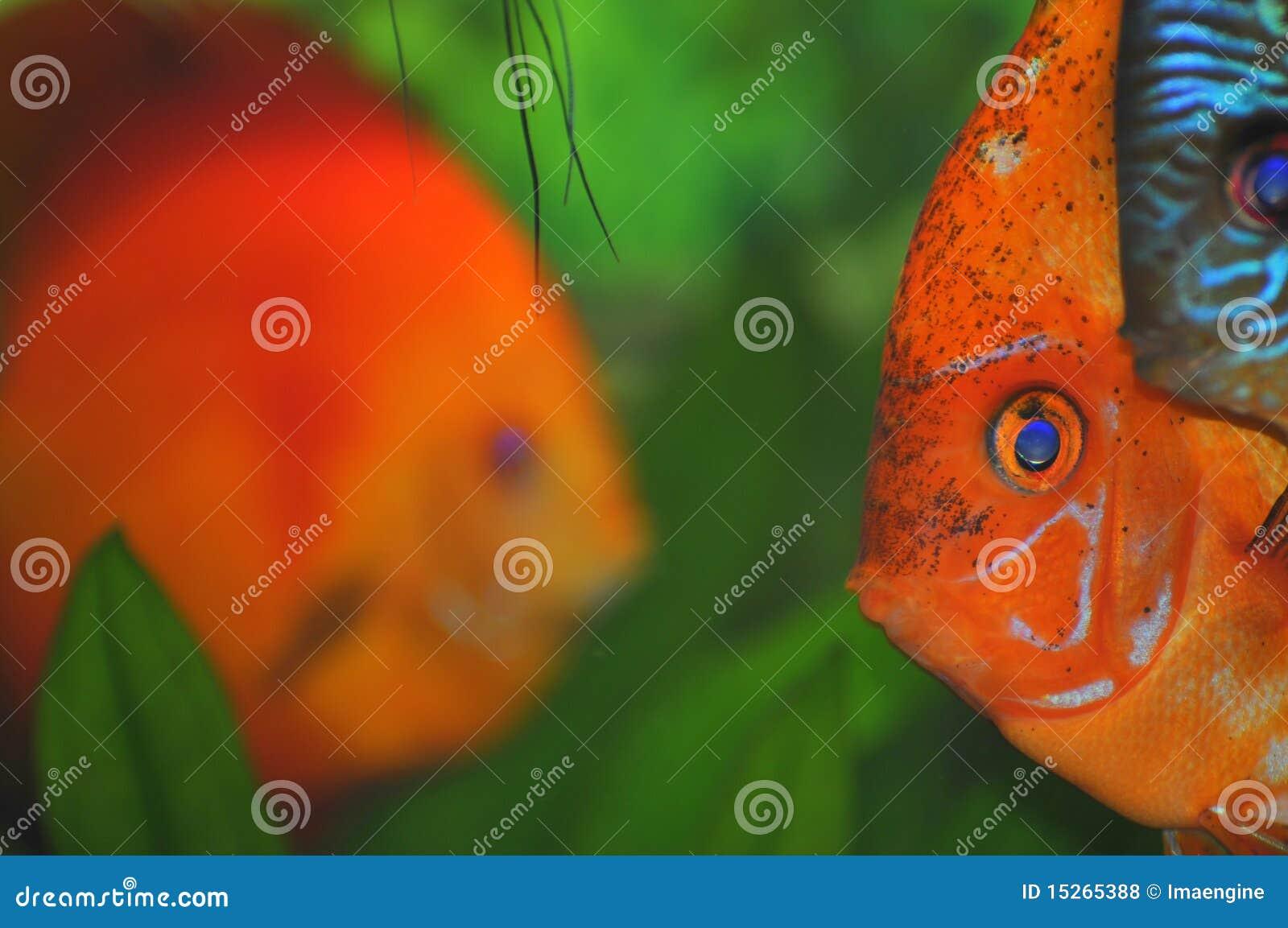Colorful Fish Faces (tropical Aquarium Fish) Stock Photo - Image of ...