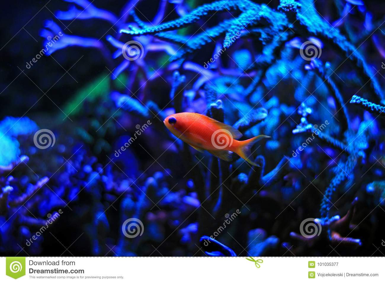 Colorful fish in reef aquarium tank
