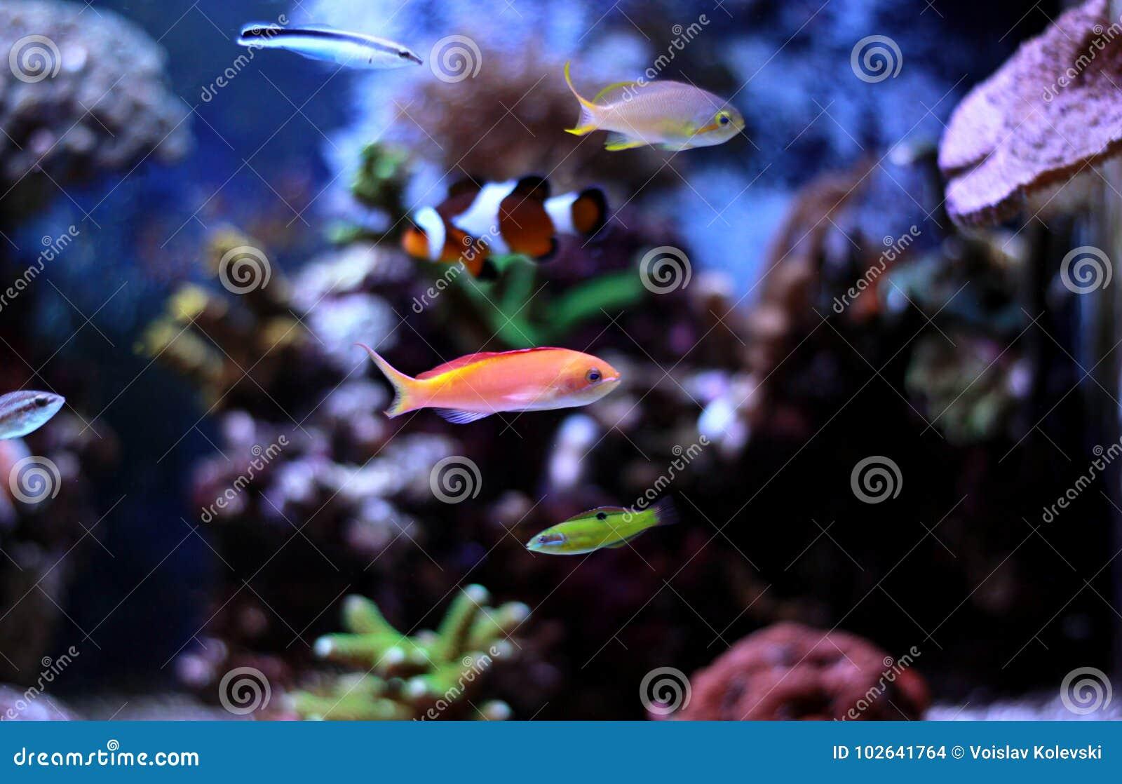 Colorful fish in reef aquarium tank