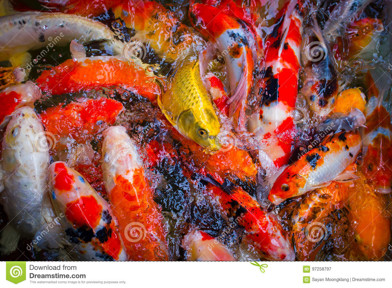 Colorful Fish Swimming In A Crowded Pond. Stock Image - Image of ...