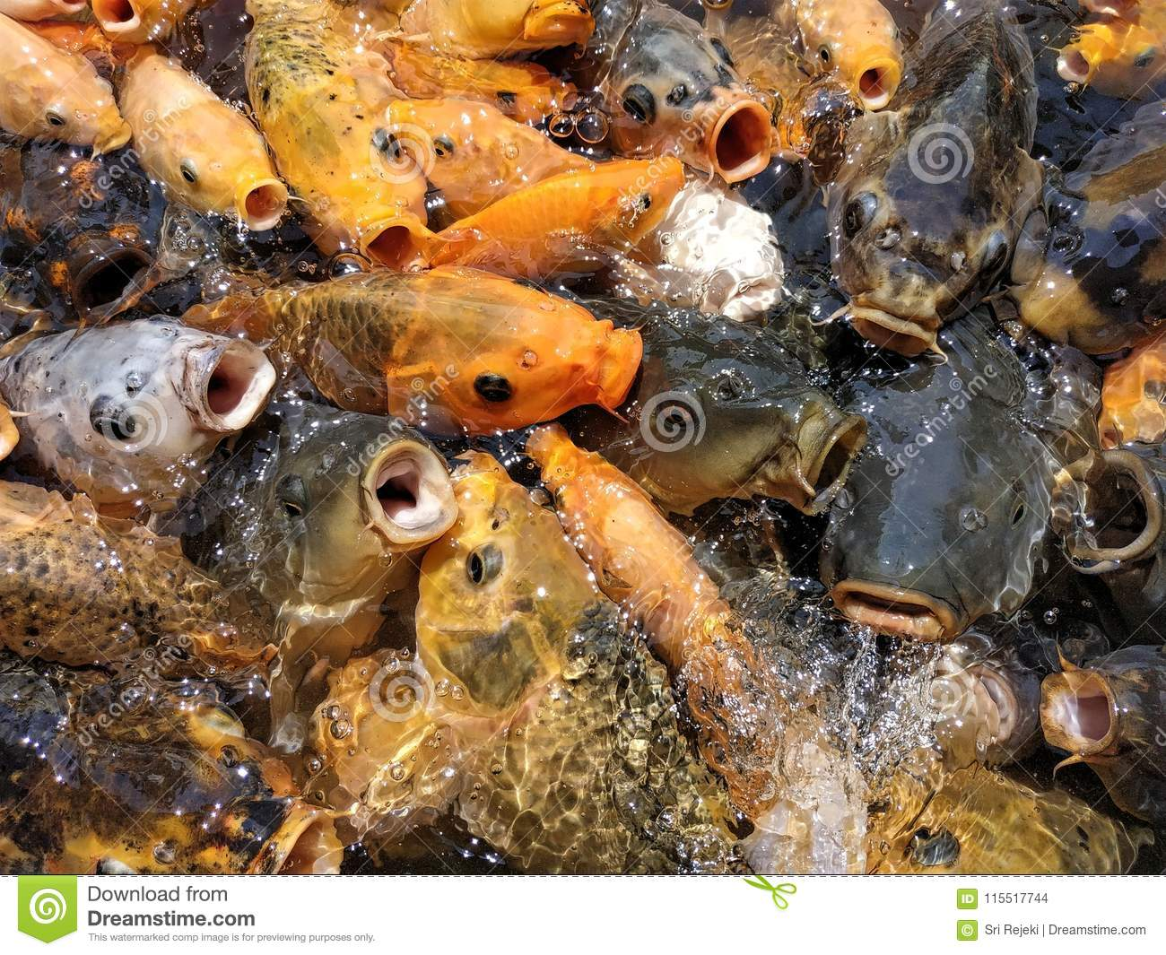 Colorful fishes at the pond in feeding frenzy