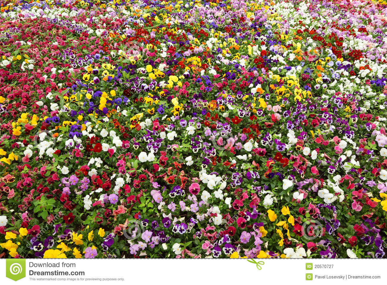 colorful flower carpet in park pansies royalty free stock photography image 20570727