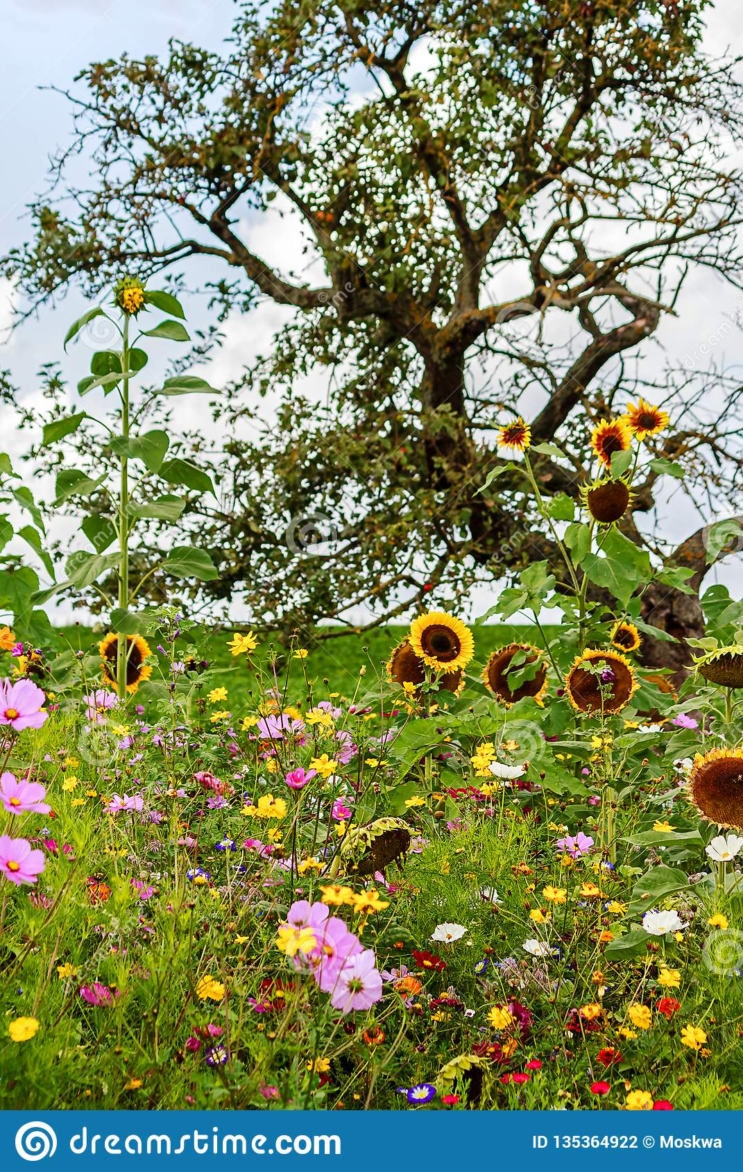 Colorful Flower Field With Wild Flowers Under The Apple Tree Stock Photo Image Of Field Eschscholzia 135364922
