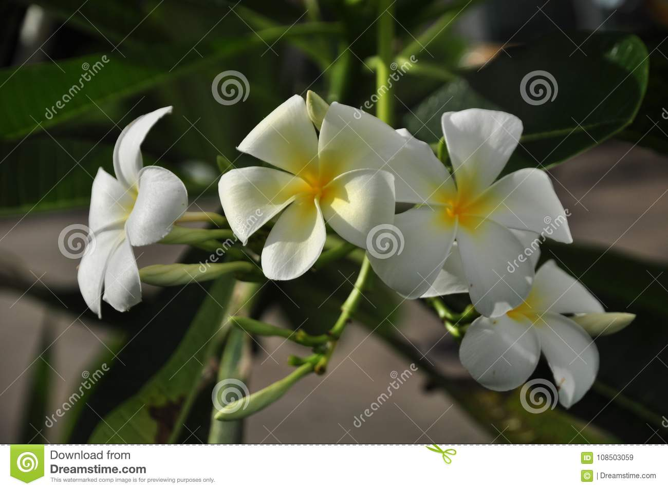 White And Yellow Plumeria Flowers In The Garden Stock Image Image