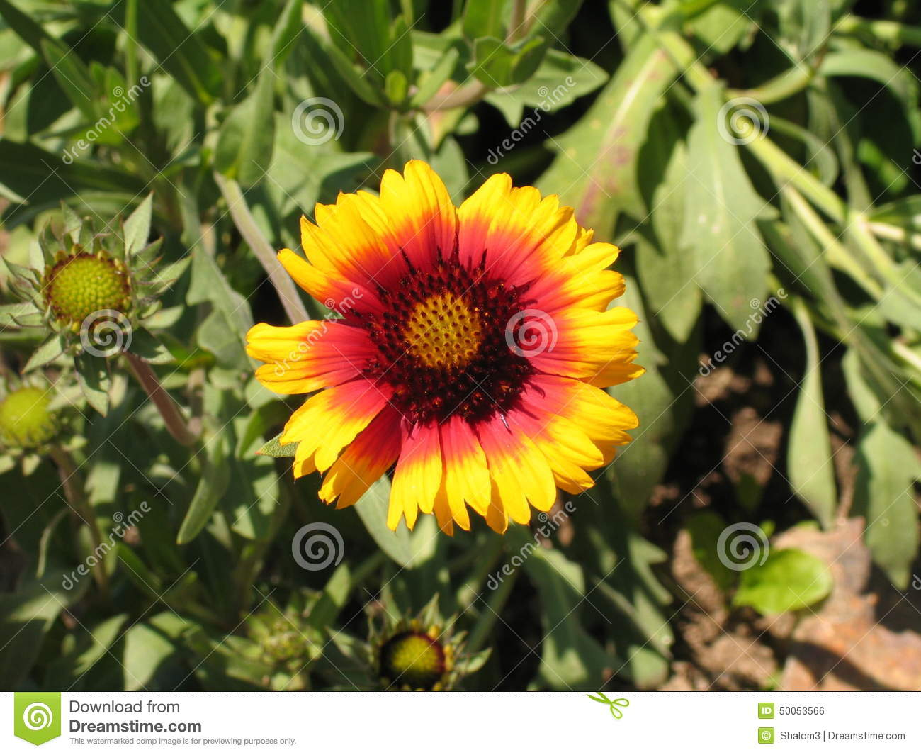 The Colorful Garden Flower Coneflower Stock Photo Image Of