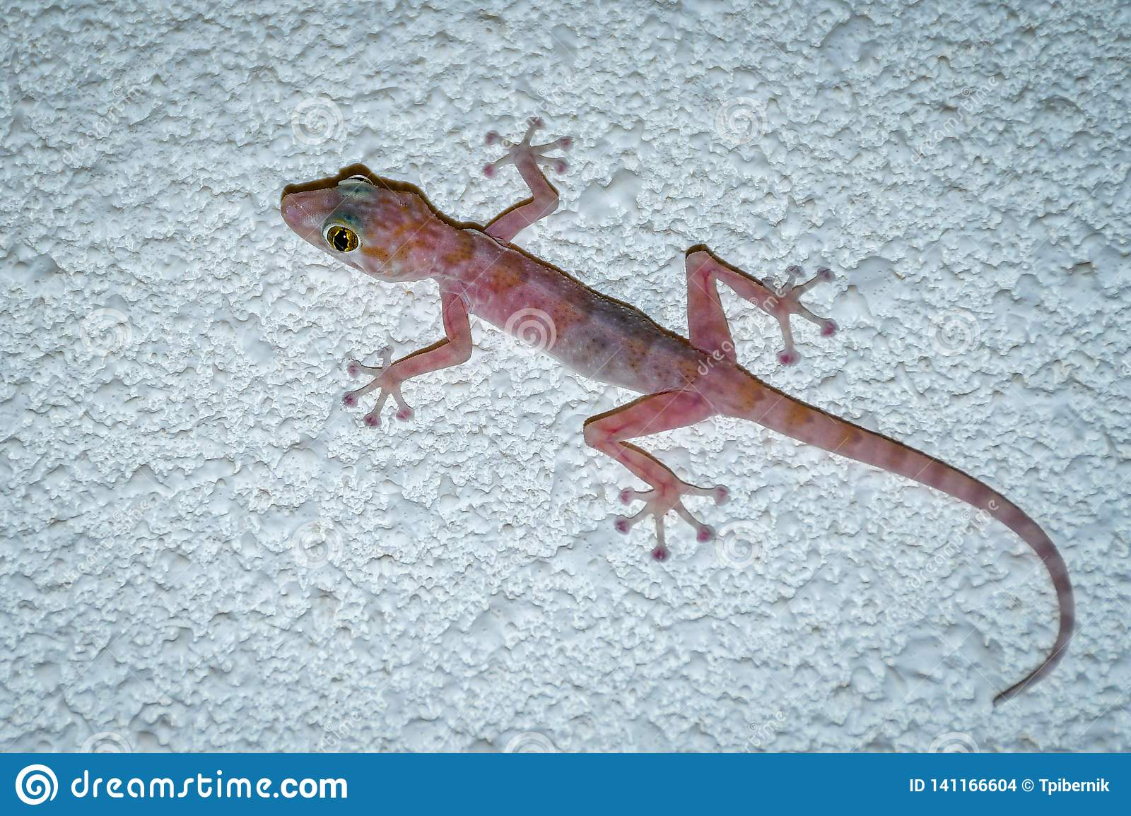 Colorful gecko with big eyes climbing and hunting flies