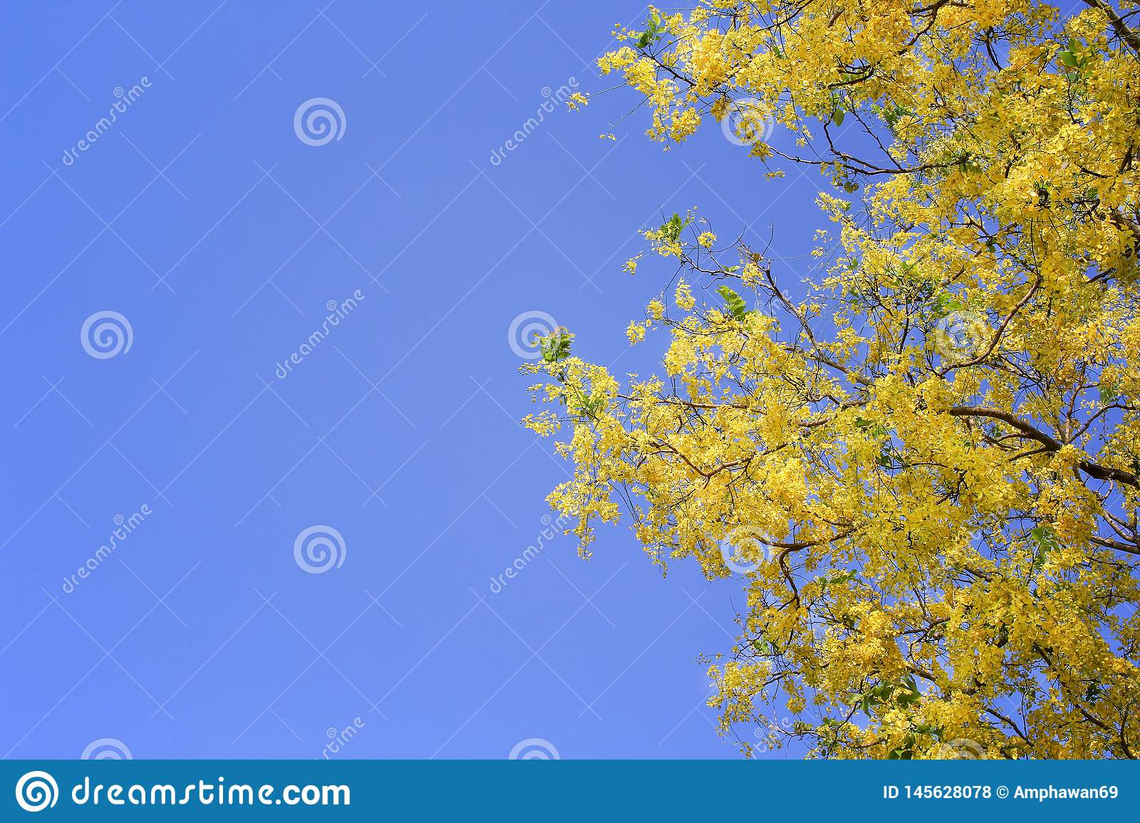 Colorful golden shower or ratchaphruek flowers blooming on