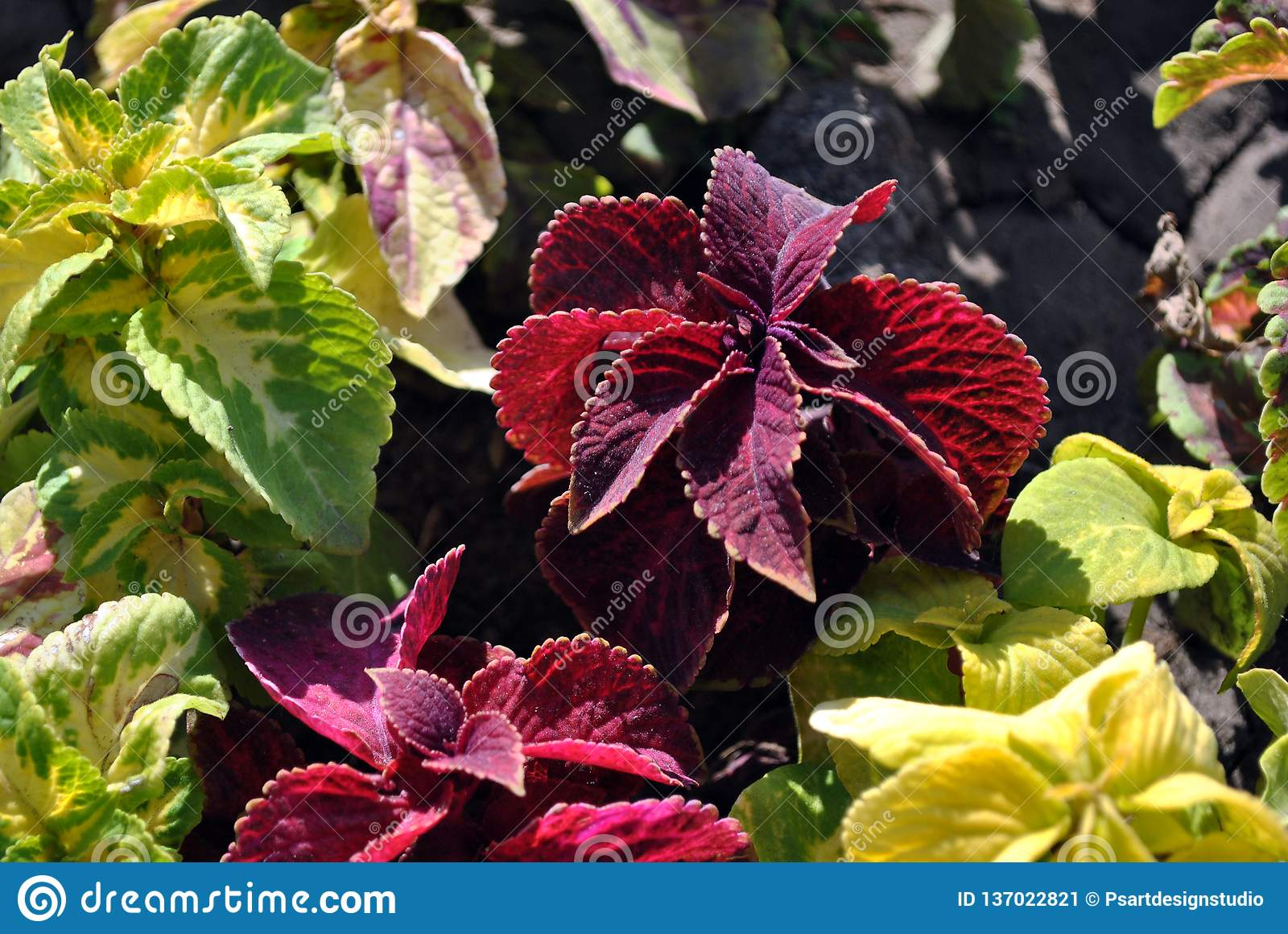 Colorful green and red leaves in flower bed