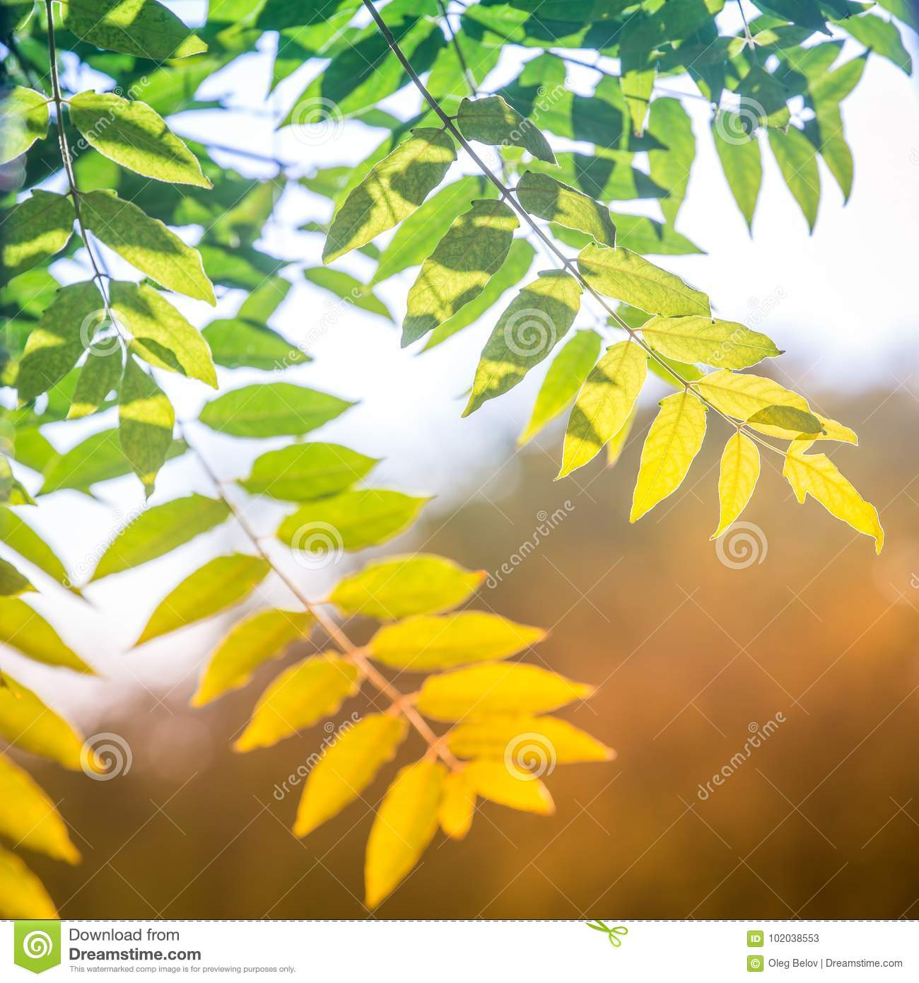 Colorful green-yellow ash tree leaves in the rays of the warm sun as a symbol of the passage from summer to autumn