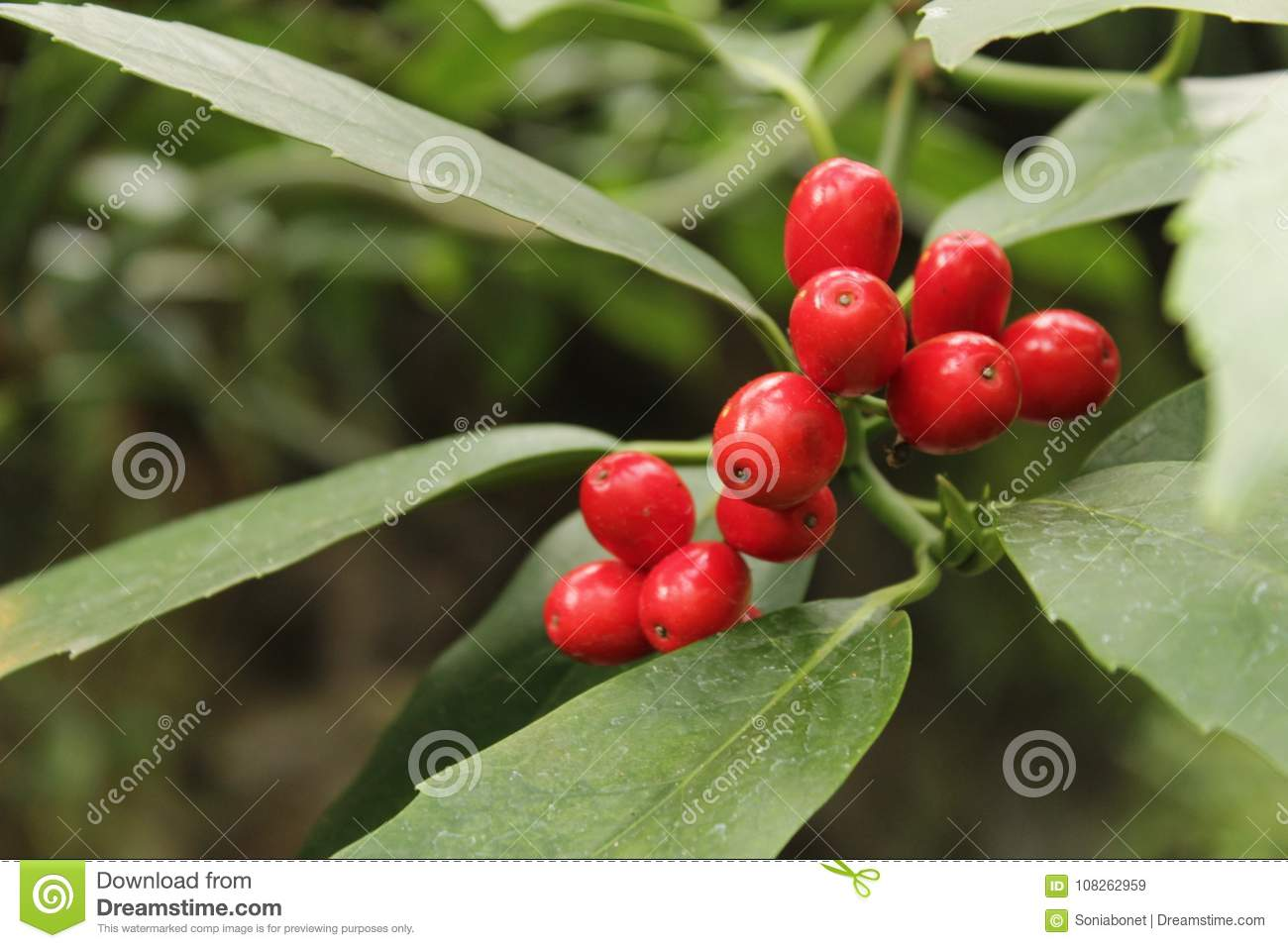 Colorful Holly Berries In The Garden In Winter, Illex