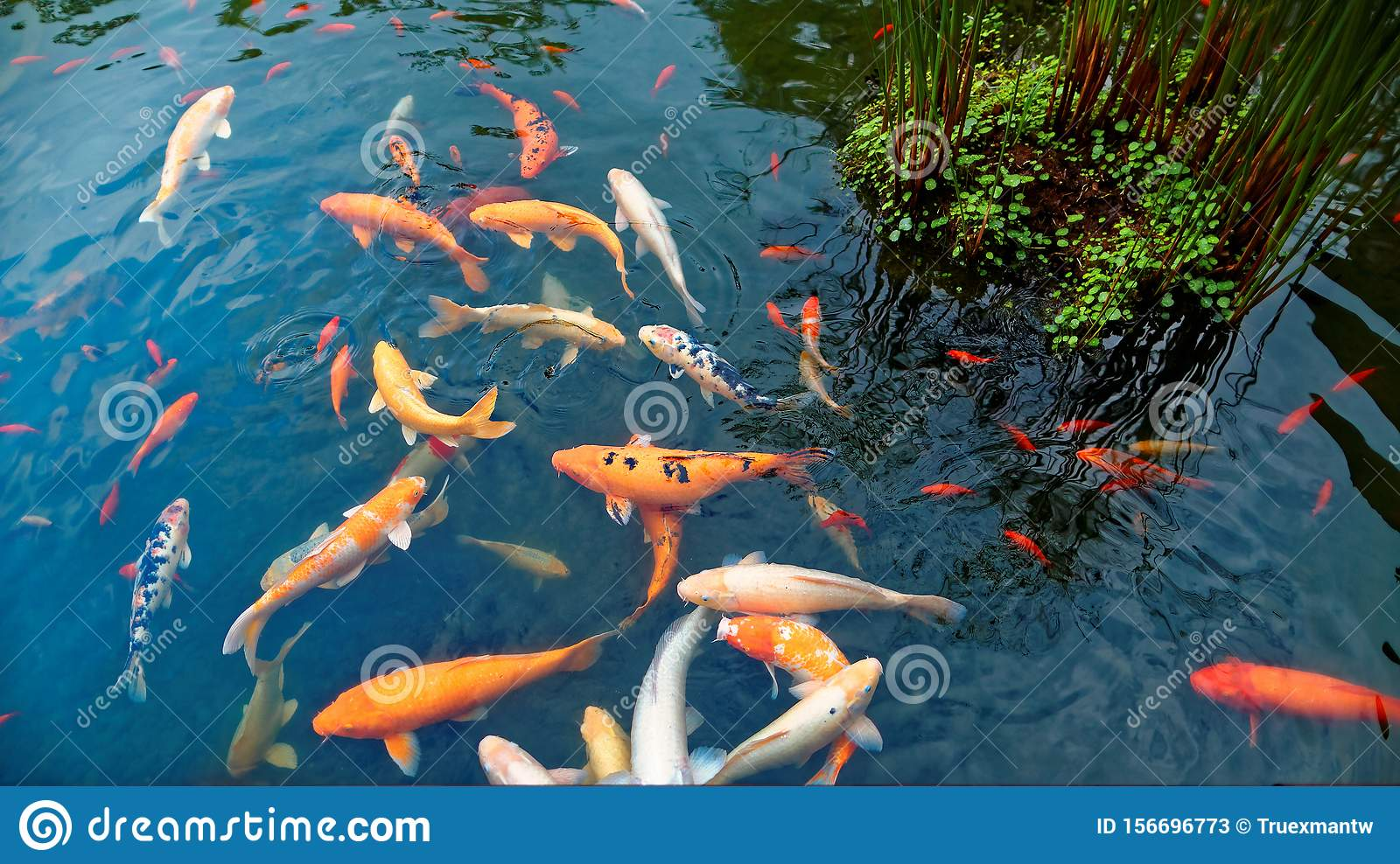 Colorful Japanese Koi Carp Fish In A Lovely Pond Of A Garden In Kyoto Japan Stock Image Image Of Background Botany 156696773