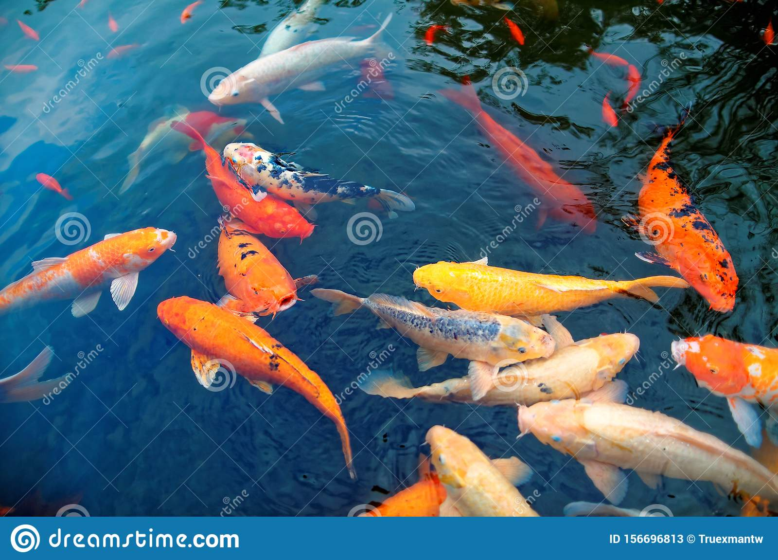 Colorful Japanese Koi Carp Fish In A Lovely Pond Of A Garden In Kyoto Japan Stock Image Image Of Animal Fish 156696813