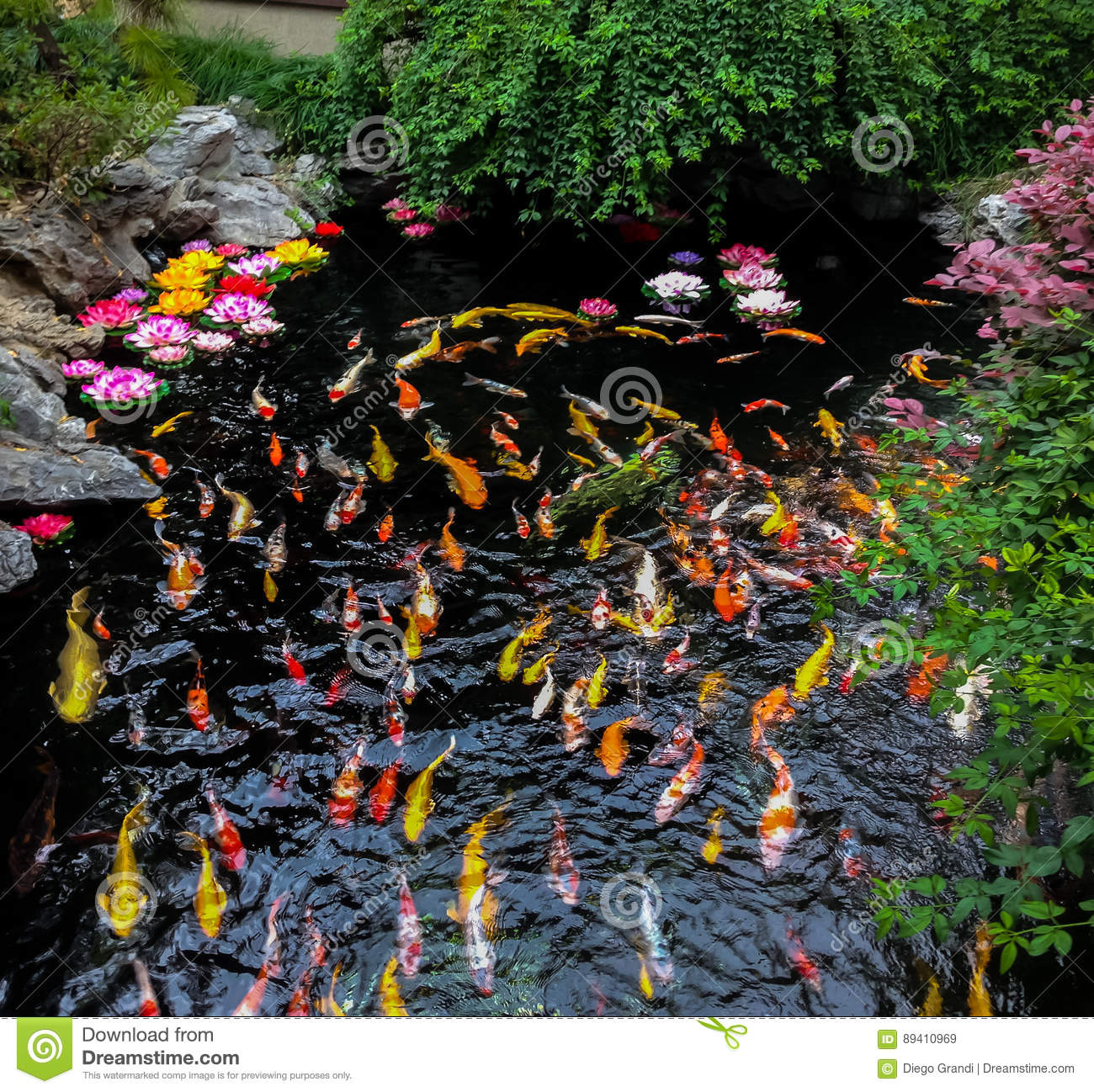 Colorful japanese Koi fish in a pond - Shanghai, China