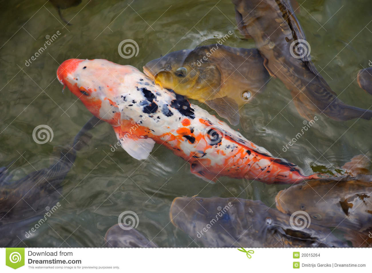 Colorful koi or carp chinese fish in water stock images for Colourful koi fish