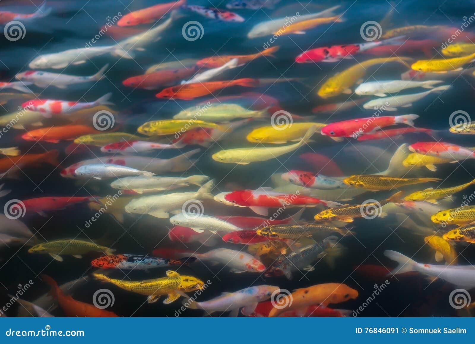 Koi fish swimming beautiful background stock photography for Fish swimming backwards