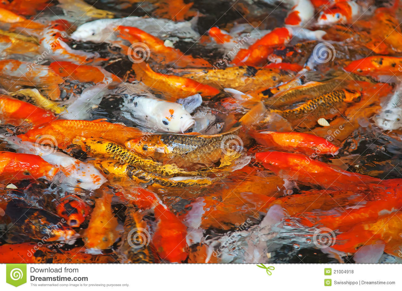 Colorful Koi Fish Stock Photo Image Of Asia Landscaping