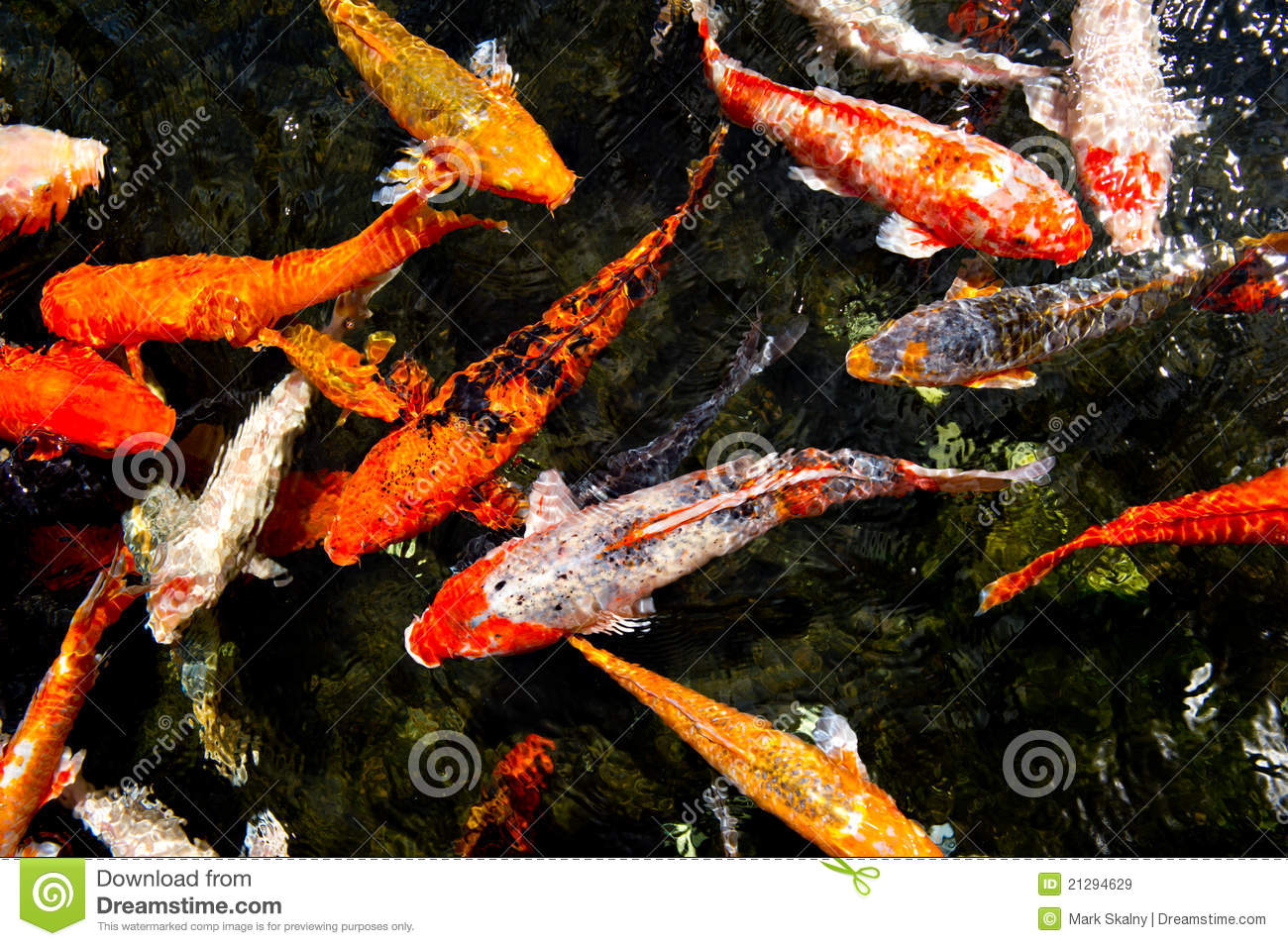 Colorful koi fish in a pond stock image image 21294629 for Colorful pond fish