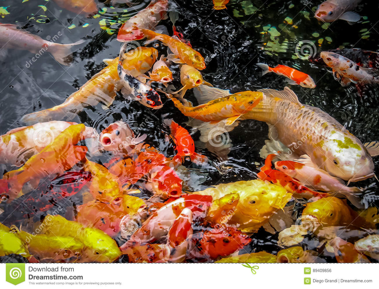 Colorful koi fish in a pond shanghai china stock photo for Golden ornamental pond fish crossword