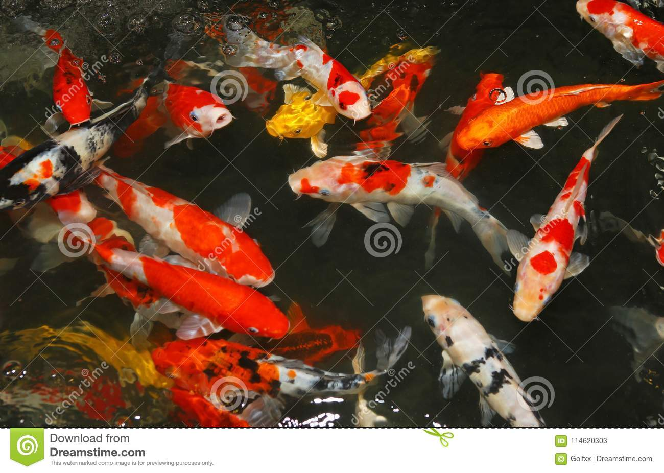 Koi fish swim on the pond stock image. Image of bubble - 114620303