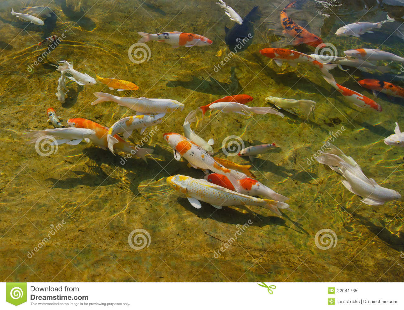 Colorful koi fish swimming royalty free stock photo Koi fish swimming pool