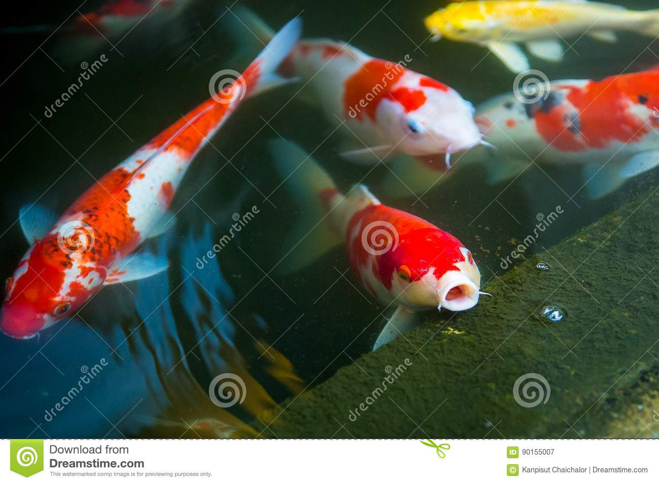 Colorful koi fish swimming and open mouth waiting for food for Koi pond you can swim in