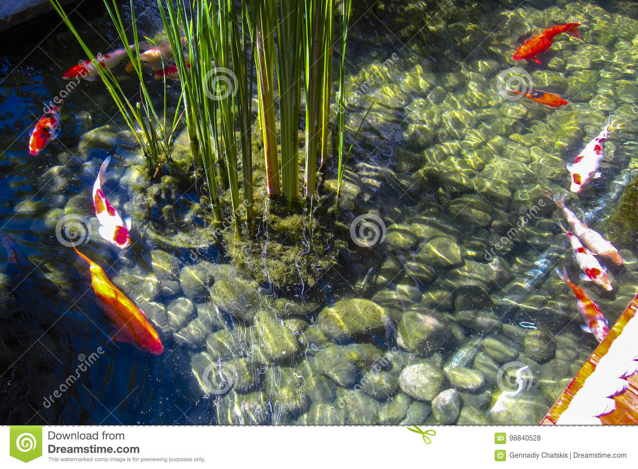 Small Pond With Colorful Fish. Game Of Reflection Stock Photo ...