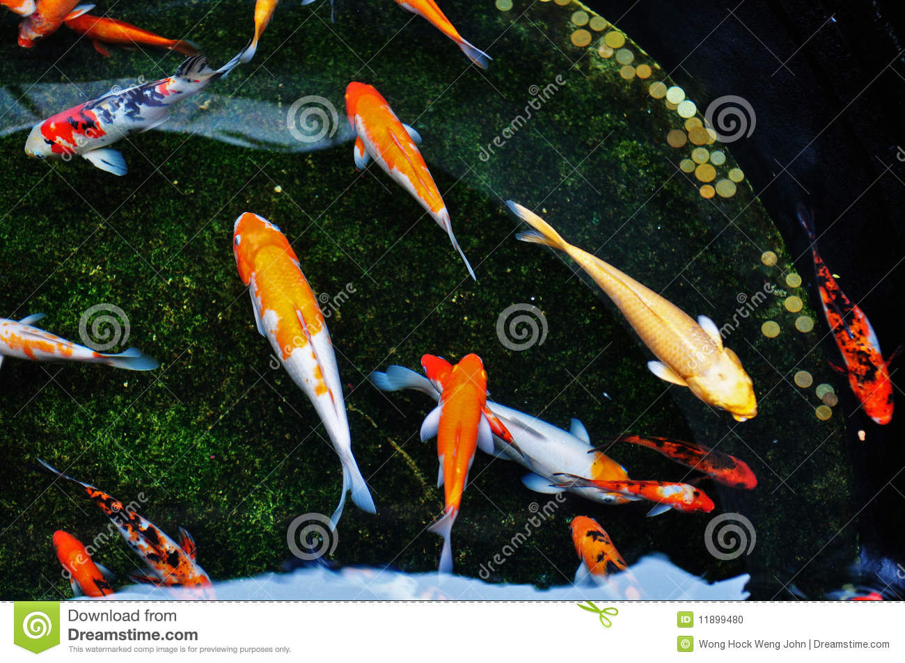 Colorful Koi Fish Swimming In The Pool Stock Photo Image