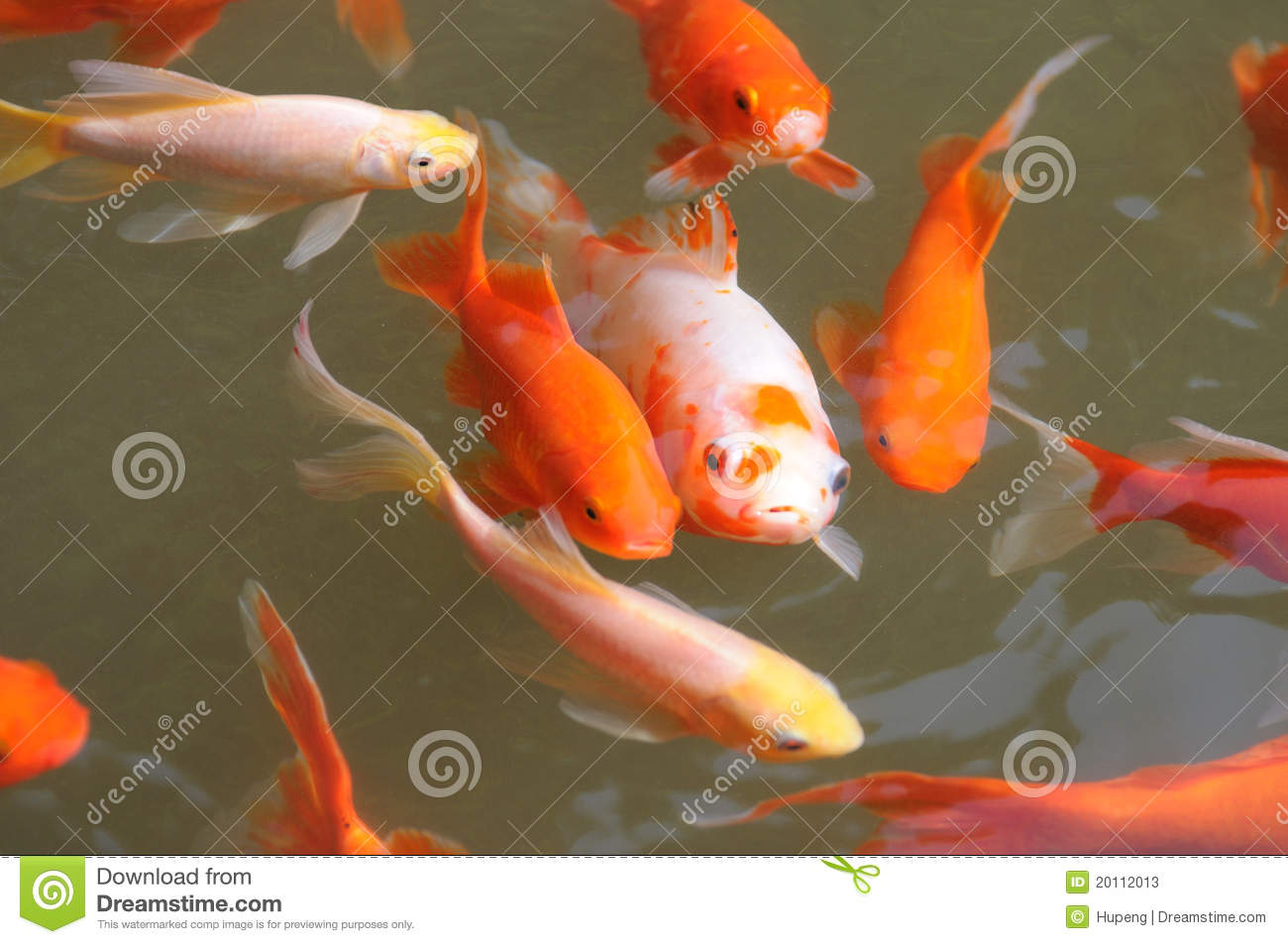 Colorful koi fish swimming in water stock illustration for Dream of fish swimming