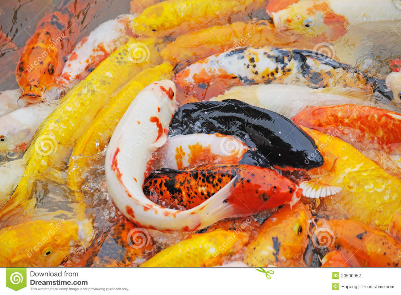 Colorful koi fish swimming in water stock photography for Colourful koi fish
