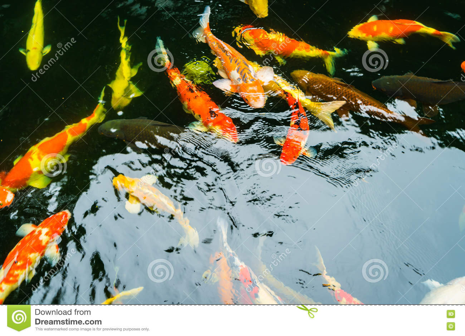 Colorful koi fish swimming in water stock image for Koi fish swimming